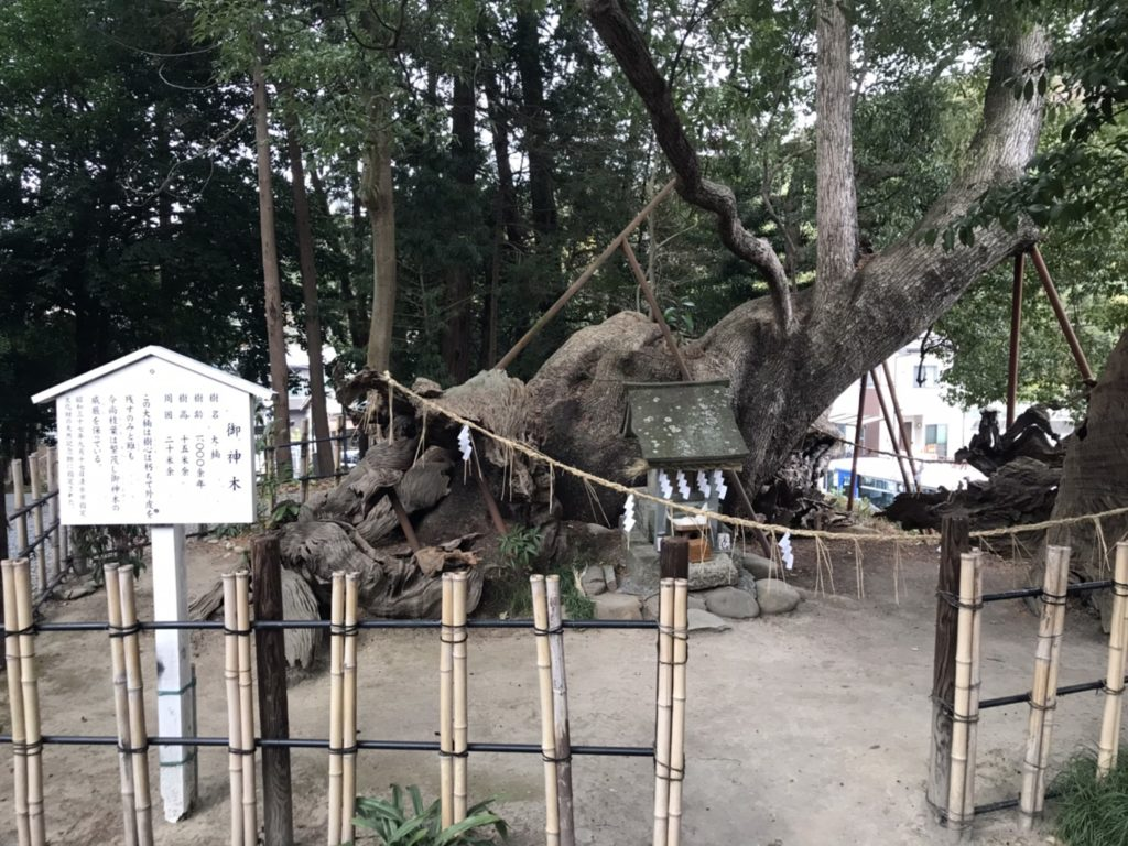 草薙神社の大楠(境内側)