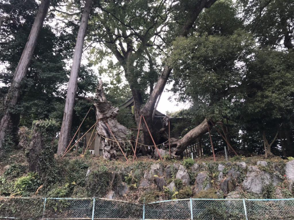草薙神社の大楠(道路側)